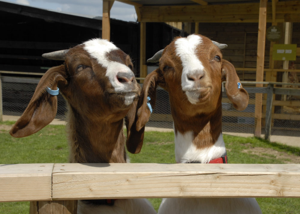 Goats in Kent